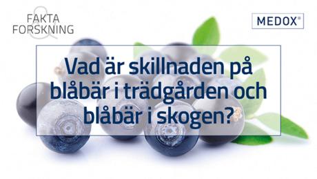 Vad är skillnaden odlade blåbär och blåbär i skogen?