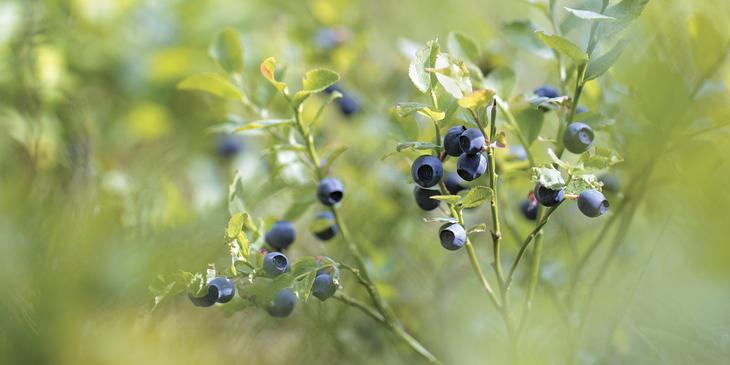 Voksende blåbær