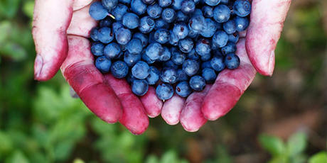 amerikanska blåbär näringsinnehåll
